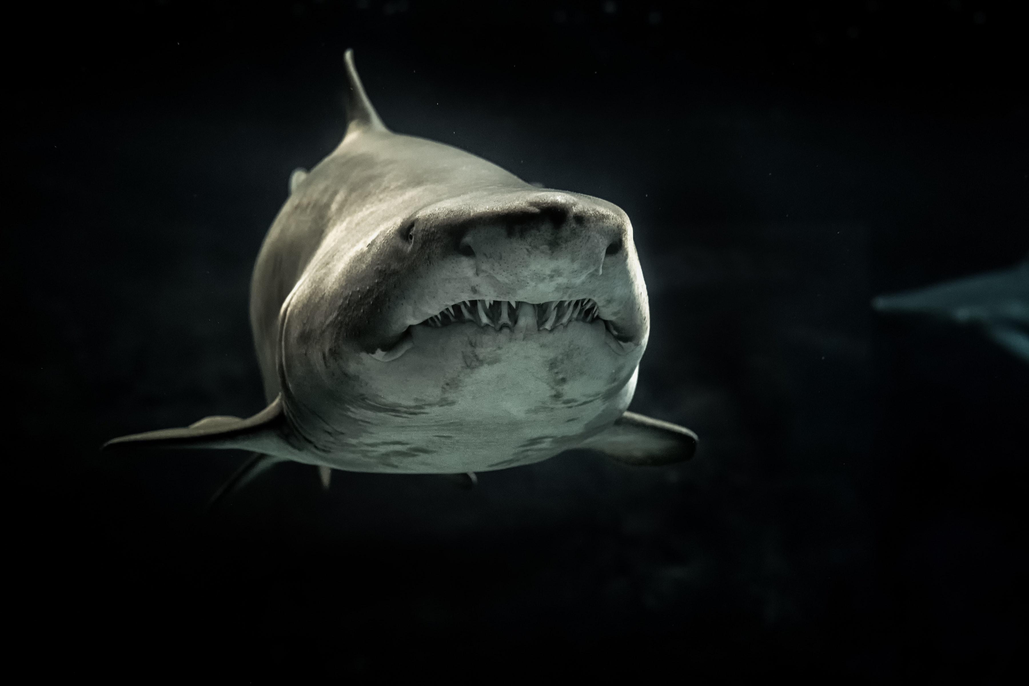 attraktiver werden Weißer Hai